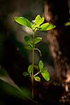 Young Coprosma plant in forest