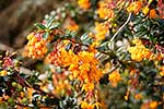 Darwin's barberry in flower