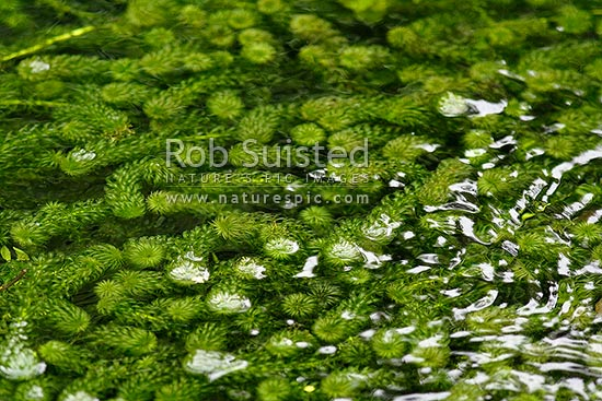 Freshwater Plants Names Perennial Freshwater Plant