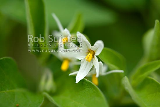 Black Nightshade Solanum Nigrum White Flowers