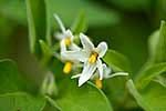 Black nightshade flowers