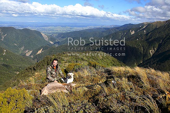 Successful deerstalker hunter and hunting dog with red deer (Cervus elaphus) in tussock. Makaroro, Ruahine Forest Park, Central Hawke's Bay District, Hawke's Bay Region, New Zealand (NZ) stock photo.