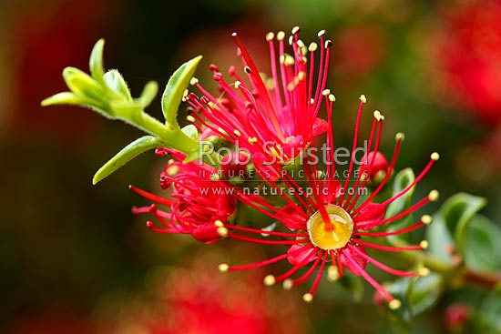 Rata Vine flowers (Metrosideros carminea), Crimson rata, Carmine rata. Myrtaceae. Red flowers. Native, New Zealand (NZ) stock photo.