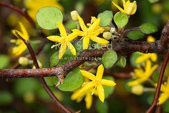 Yellow Flowers And Foliage Of Korokio Wire Nettting Bush