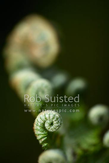 Unfurling new growth on native tree fern. Koru. Silver Tree Fern - Ponga (Cyathea dealbata), New Zealand (NZ) stock photo.