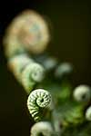 Unfurling fern fronds