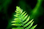 Hen and Chickens Fern frond tip