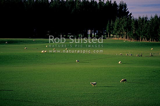 Looking over lush rolling green farmland and sheep grazing in paddock. Flat pasture. Pine trees backdrop, Levin, Horowhenua District, Manawatu-Wanganui Region, New Zealand (NZ) stock photo.