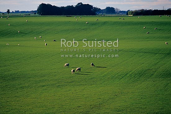 Looking over lush rolling green farmland and sheep grazing in paddock. Flat pasture. Pine plantation in distance, Levin, Horowhenua District, Manawatu-Wanganui Region, New Zealand (NZ) stock photo.
