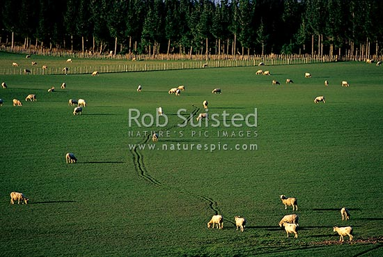 Looking over lush rolling green farmland and sheep grazing in paddock. Flat pasture. Pine tree forest beyond, Levin, Horowhenua District, Manawatu-Wanganui Region, New Zealand (NZ) stock photo.