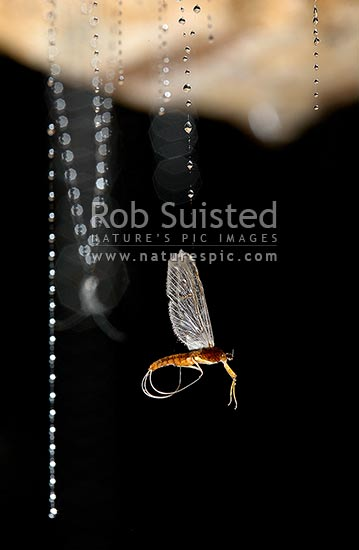 Mayfly Adult Trapped In Glow Worm Larvae Silk Fishing Line