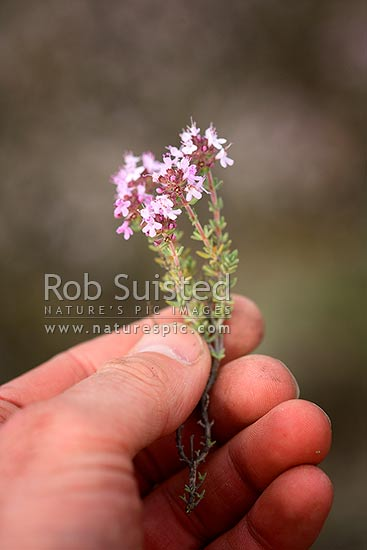 Wild thyme flowers (Thymus vulgaris) - Otago herb plant pest, weed. Established from early gold mining camps. Hand holding an uprooted plant, Cromwell, Central Otago District, Otago Region, New Zealand (NZ) stock photo.