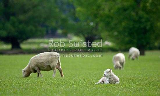 Young spring lambs and sheep in lush grass pasture farmland (Ovis aries), New Zealand (NZ) stock photo.