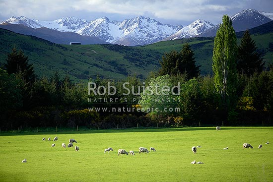 Young spring lamb and sheep (Ovis aries) in lush grass pasture farmland below the snow covered Eyre Mountains, Athol, Southland District, Southland Region, New Zealand (NZ) stock photo.
