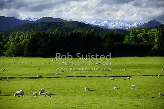 Young spring lamb and sheep in lush grass pasture farmland below the snow covered Eyre Mountains (Ovis aries), Athol, Southland District, Southland Region, New Zealand (NZ) stock photo.