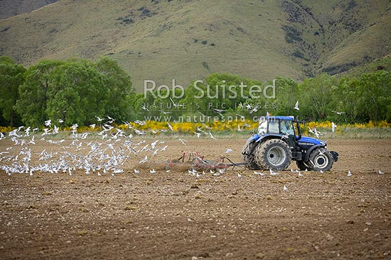 Farm tractor tilling soil ready for sowing followed by a large flock of gulls feeding on soil insects, Athol, Southland District, Southland Region, New Zealand (NZ) stock photo.
