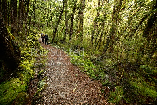 Trampers / hikers on the Kepler Track Great Walk, winding through beech forest, in the Iris Burn River valley, Fiordland National Park, Southland District, Southland Region, New Zealand (NZ) stock photo.