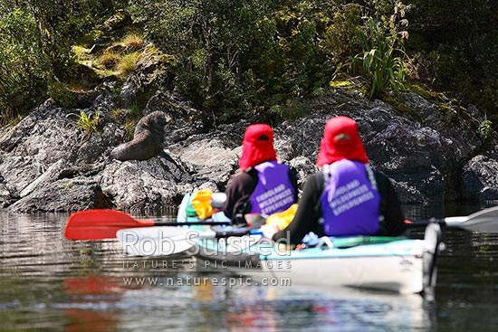 Wilderness double sea kayakers viewing New Zealand Fur Seal (Arctocephalus forsteri, family: Otariidae) on rock, Doubtful Sd, Fiordland National Park, Doubtful Sound, Fiordland, Southland District, Southland Region, New Zealand (NZ) stock photo.