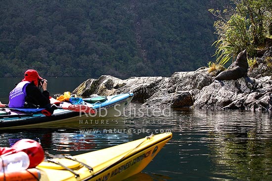 Wilderness double sea kayakers viewing New Zealand Fur Seal (Arctocephalus forsteri, family: Otariidae), Doubtful Sd, Fiordland National Park, Doubtful Sound, Fiordland, Southland District, Southland Region, New Zealand (NZ) stock photo.