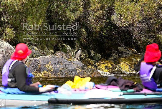 Wilderness double sea kayakers viewing Fiordland crested penguin (Eudyptes pachyrhynchus), Doubtful Sd, Fiordland National Park, Doubtful Sound, Fiordland, Southland District, Southland Region, New Zealand (NZ) stock photo.