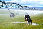 Cow drinking irrigated farm water