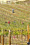 Pruning grape vines in vineyard