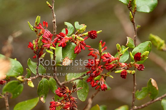 NZ Native Black Beech tree flowers, leaf and foliage (Fuscospora solandri Syn. Nothofagus solandri), Fiordland, New Zealand (NZ) stock photo.