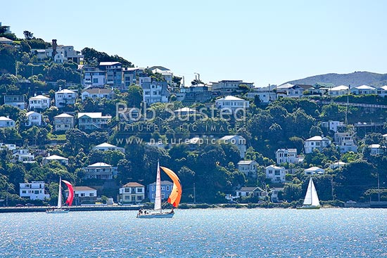 Sailing yacht racing in Evans Bay past houses on Mount (Mt) Victoria. Wellington Harbour, Wellington, Wellington City District, Wellington Region, New Zealand (NZ) stock photo.