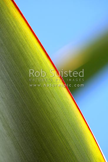 Abstract image of the red edge to a native flax leaf - blue sky behind (Phormium tenax). Close up, New Zealand (NZ) stock photo.