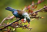 Native Tui eating flax flowers