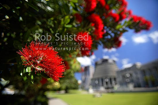 Pohutukawa flowers in front of Parliament Buildings adn the 'Beehive' at Christmas time (Metrosideros excelsa). Christmas time, Wellington, Wellington City District, Wellington Region, New Zealand (NZ) stock photo.