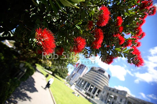 Pohutukawa flowers in front of Parliament Buildings and the 'Beehive' at Christmas time (Metrosideros excelsa), Wellington, Wellington City District, Wellington Region, New Zealand (NZ) stock photo.