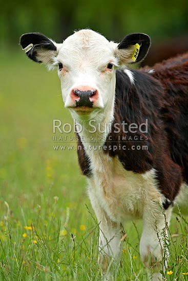 Young cattle beast on farmland, Cambridge, Waipa District, New Zealand (NZ) stock photo.