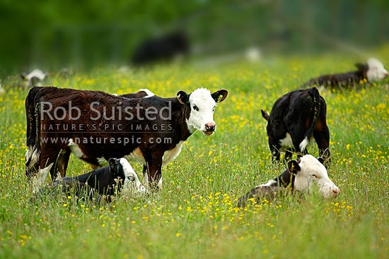 Young cattle livestock grazing in a paddock with yellow buttercup, Cambridge, Waipa District, New Zealand (NZ) stock photo.