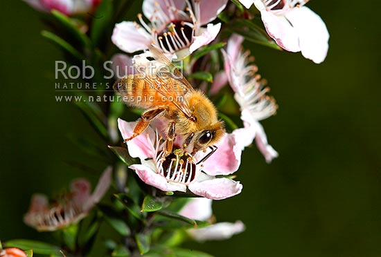 Common Honey Bee (Apis mellifera, order Hymenoptera) collecting nector and pollinating native Manuka flowers (Leptospermum scoparium), New Zealand (NZ) stock photo.