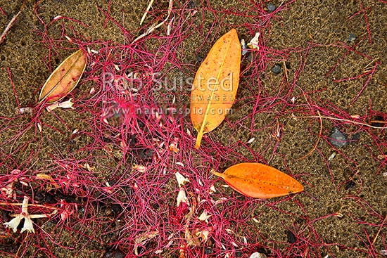 Red Pohutukawa Flower Anther Stalk Remains And Leaves Littering