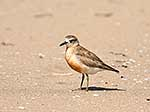 NZ Dotterel bird