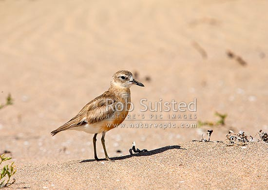 New Zealand bird Dotterel northern subspecies (Charadrius obscurus aquilonius). Maori name tuturiwhatu, Taupo Bay, Far North District, Northland Region, New Zealand (NZ) stock photo.