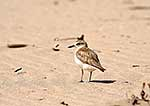 NZ dotterel, northern subspecies