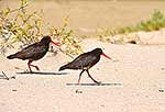 Oystercatcher birds