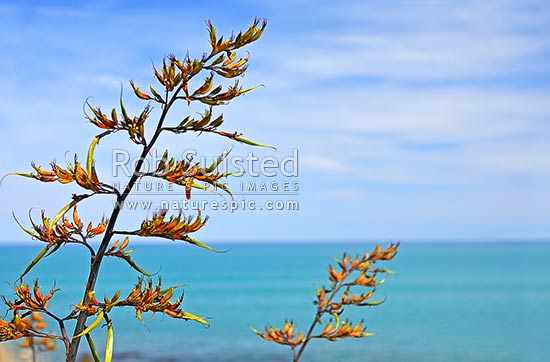 NZ Native flax flowers stems on the coast (Phormium colensoi), Hawke's Bay, New Zealand (NZ) stock photo.