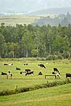 Dairy Cattle in farm paddock