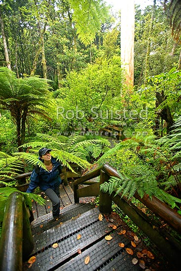 A visitor climbing a lookout platform at the Department of Conservation (DOC) Trounson Kauri Park conservation area, Donellys Crossing, Kaipara District, Northland Region, New Zealand (NZ) stock photo.