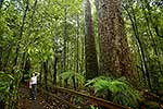 Kauri rainforest bush walk