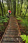 Kauri forest walking track