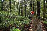 kauri trail walking track
