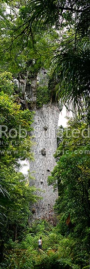 Tourist visiting 'Tane Mahuta' - largest Kauri tree in world. 50m high/13.7m girth/1500 y.o. (Agathis australis). Vertical Panorama, Waipoua, Far North District, Northland Region, New Zealand (NZ) stock photo.