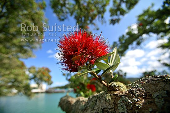 Pohutukawa tree flower on branch (Metrosideros excelsa). Close up of flower, New Zealand (NZ) stock photo.