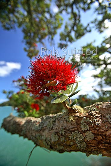 Pohutukawa tree flower on branch (Metrosideros excelsa), New Zealand (NZ) stock photo.