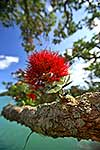 Pohutukawa tree flowers close up